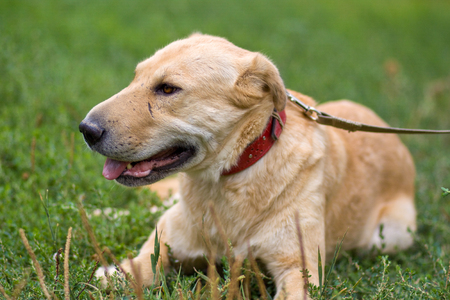 portrait of big old pale dog on a leash resting on the grass outdoor, looking tired Stock fotó