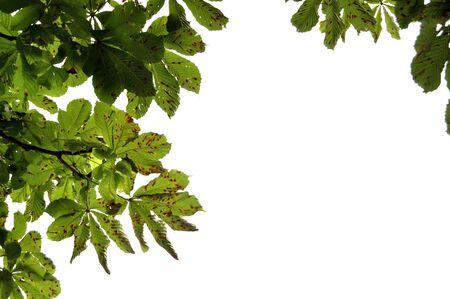 Chestnut branch Stock Photo