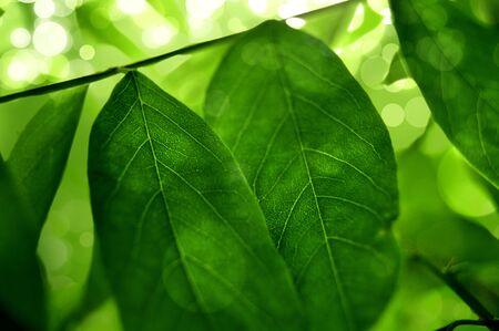 Green tee leafs Stock Photo