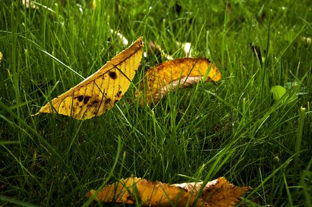 Leafs in the grass