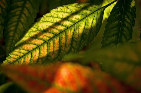 Green and red leaf