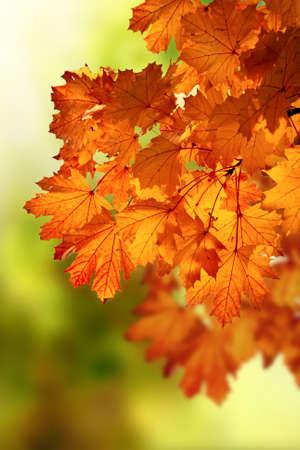 maple autumn branch Stock Photo