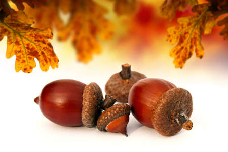 acorns composition Stock Photo