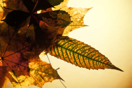 maple autumn leaves Stock Photo
