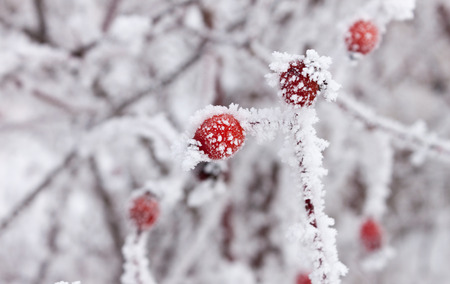 Frosty rosehips close up