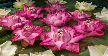 Beautiful pink and white lotus flowers in water bowl.