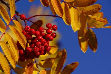 팥배의 열매 pohuashanensis