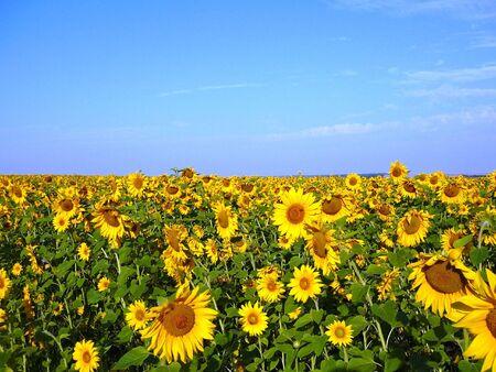 zonnebloem kiemen: zonnebloemzaad