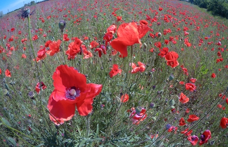 The huge field of red poppies flowers. Sun and clouds. View many of poppies and close-up.