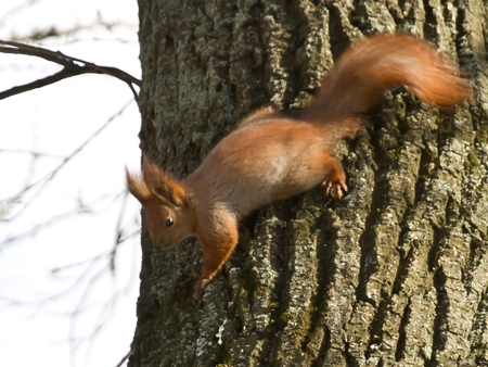 Squirrel eats on the tree. Squirrel on a tree in the park of Kiev. Stockfoto