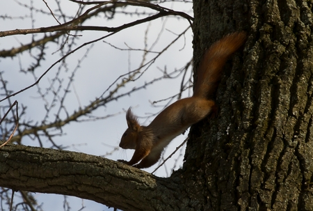 Squirrel eats on the tree. Squirrel on a tree in the park of Kiev. Banco de Imagens