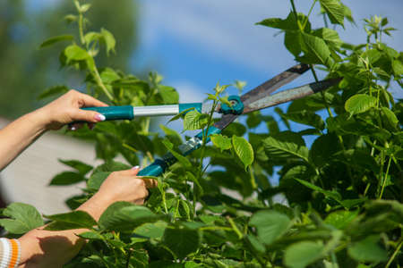 Female hands who make pruning of berry bushes with large garden shears with large garden shears
