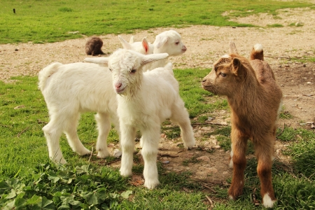 drank: The picture shows a little goats who just drank milk. Goats 10 days from birth. Stock Photo