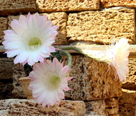 flowering cactus: The picture shows a flowering cactus. He has large white flowers Stock Photo
