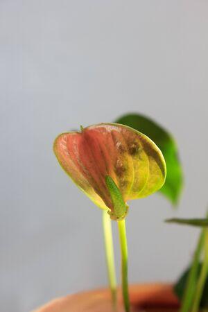 anthurium: Anthurium flower