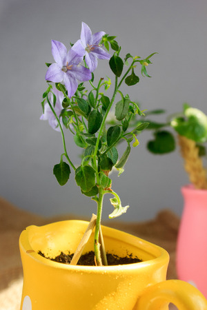 campanula: Campanula isophylla