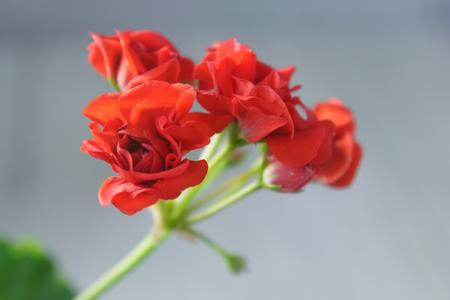 cranesbill: Rosebud pelargonium. Red heranium flower with the green leaves.