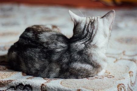 laying on back: Scottish Straight cat - beautiful cat laying back to viewer Stock Photo