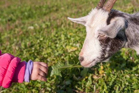 baby goat: Little baby girl playing with the young goat at village. Stock Photo
