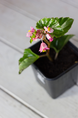 begonia flower in flowerpot - home plant on white table.