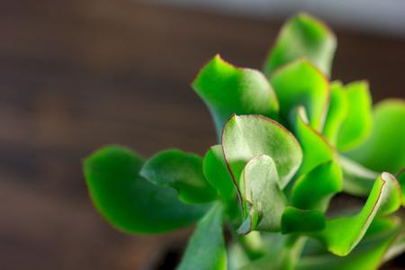 jade plant: Green succulent home plant - crassula blue bird.