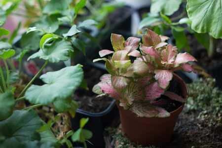 acanthaceae: Fittonia home plant in flower pot rounded with home plants