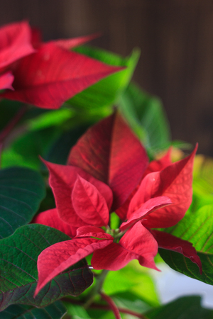 christmas poinsettia kind of christmas home plant red poinsettia leaves and flowers stock - Red Christmas Flowers
