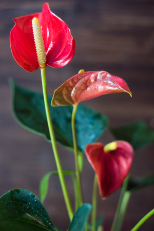 Red anthurium home plant in a pot over wooden background.