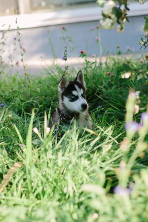 Little husky dog at green grass