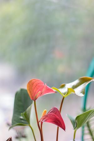 Anthurium plant at home garden on window