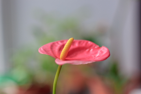 Close up view of beautiful anthurium flower.