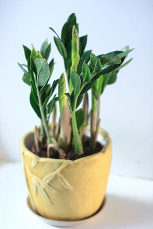 Zamioculcas zamiifolia - green house plant aka dollar tree