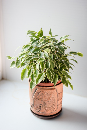 Ficus benjamina kinky in a pot over white background