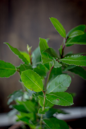 Laurel tree - Laurus nobilis as a house plant Stock Photo