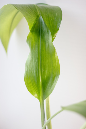 Eucharis plant leaves on the white background