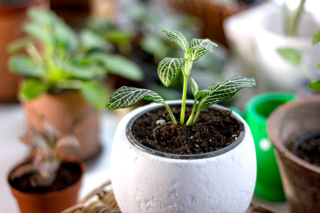 Green fittonia house plant in a white flower pot Stock Photo