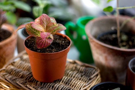Beautiful fittonia house plant in a flower pot Stock Photo