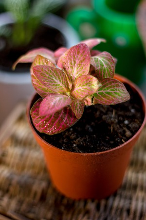 Nice fittonia house plant in a flower pot Stock Photo