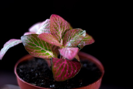 Beautiful fittonia house plant on a black background Stock Photo