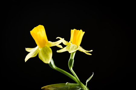 Daffodil or narcissus flowers on a black background Banque d'images