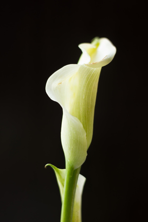 White calla lily flower on a black background