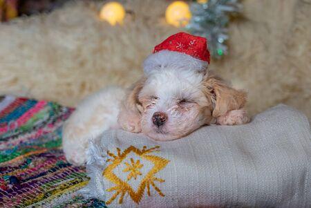Chinese Crested Powderpuff dog sleeps with chrismas hat.