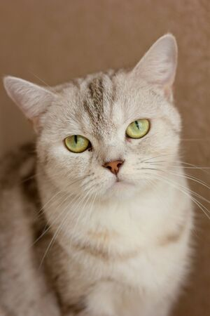 Beautiful gray cat portrait. Scottish straight cat.