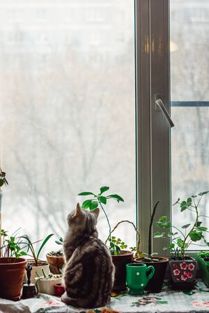 Beautiful grey cat sitting on the window sill and looking to window