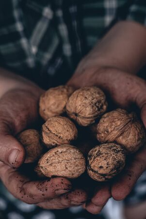 Two Farmer hands holding walnuts. Nuts in a hands of farmer. 写真素材