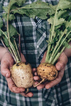 Fresh ripe turnips in a hands of farmer.
