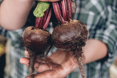 Fresh ripe beetroots in a hands of farmer