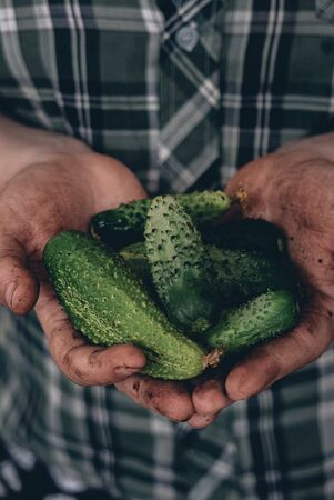 Fresh and ripe cucumbers in a hands of farmer.