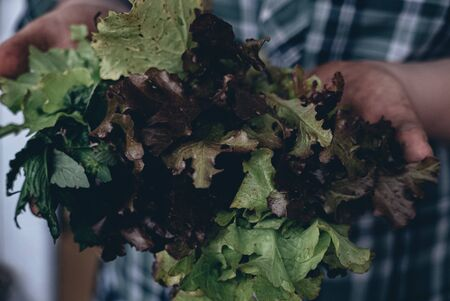Lettuce salad in a hands of a farmer.