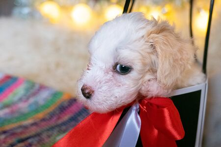 Chinese Crested powderpuff dog in a christmas gift bag or box
